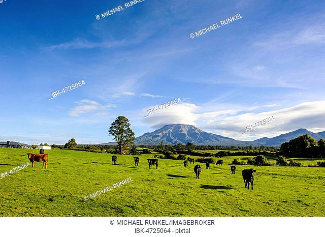 Cows on the pasture, in the back Mount Taranaki, North Island, New Zealand