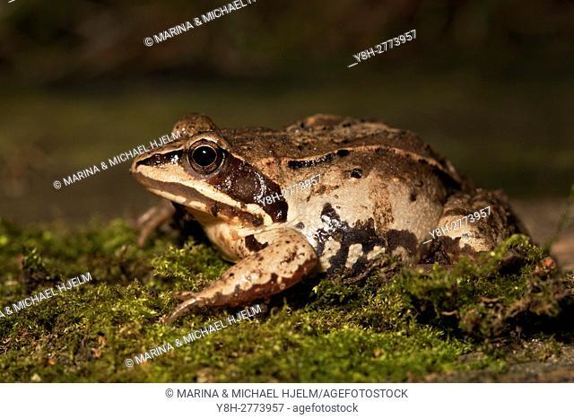 Moor Frog; Rana arvalis; Geesthacht; Schleswig-Holstein; Germany