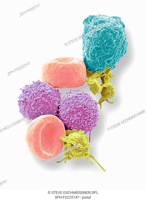 Human blood cells, SEM