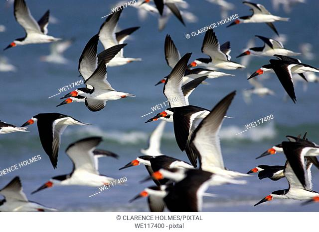 Flock of Black Skimmers Rynchops niger takes flight over the beach at Fort Desoto Park, Tierra Verde, Florida, USA