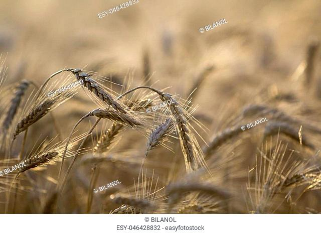 Close-up of warm colored golden yellow ripe focused wheat heads on sunny summer day on soft blurred foggy meadow wheat field light brown background