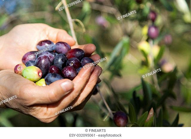 Handful of freshly-harvested organic olives, hands showing freshly picked olives, next to tree