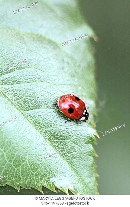 Two-spot Ladybird Beetle, Adalia bipunctata on leaf, Adalia bipyunctata is cannabalistic ladybird with about 80percent of population female  Femals have a...