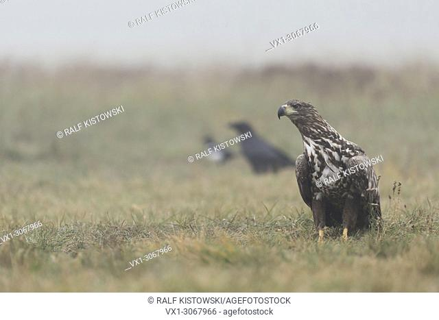 White-tailed Eagle / Sea Eagle ( Haliaeetus albicilla ), juvenile, adolescent, sitting on the ground, together with Common Raven and magpie, wildlife, Europe