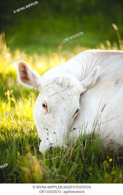 White cow sleeping outside