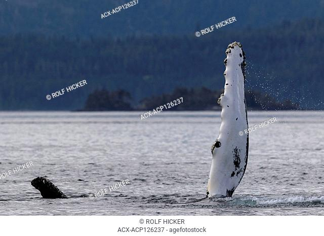 Humpback whale waving with its pectoral fin near the Broughton Archipelago, Great Bear Rainforest, First Nations Territory, British Columbia, Canada