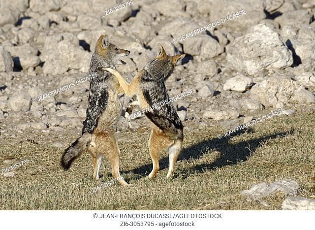 Black-backed jackals (Canis mesomelas), two young animals playing, Etosha National Park, Namibia, Africa