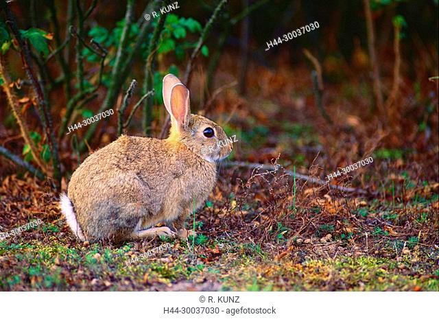 Rabbit, Oryctolagus cuniculus, Leporidae, mammal, animal, Skanör, Skåne, Sweden