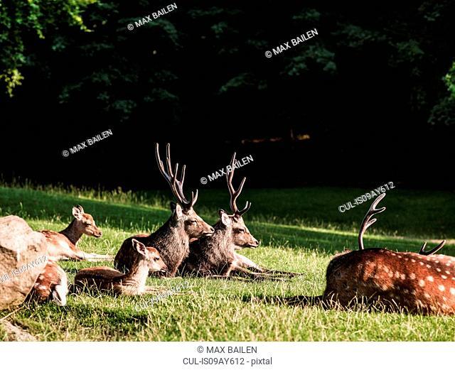 Group of deer lying down, Aarhus, Denmark