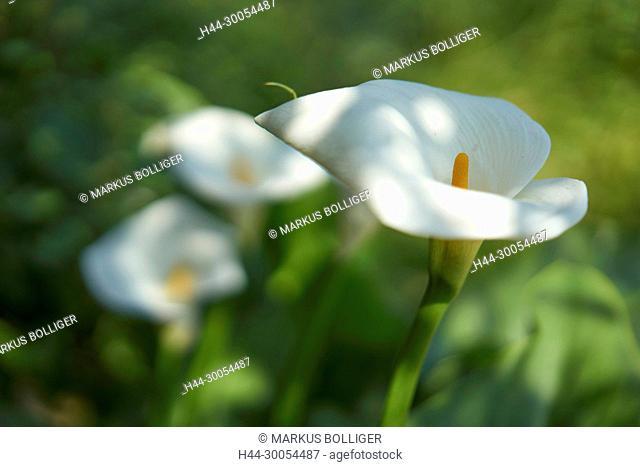 Crete, Greece, Zantedeschia aethiopica, Araceae, arum plants, Calla, high-level sheet, usual Calla, pistons, white, blossom, flower, flora, plant, flower plant