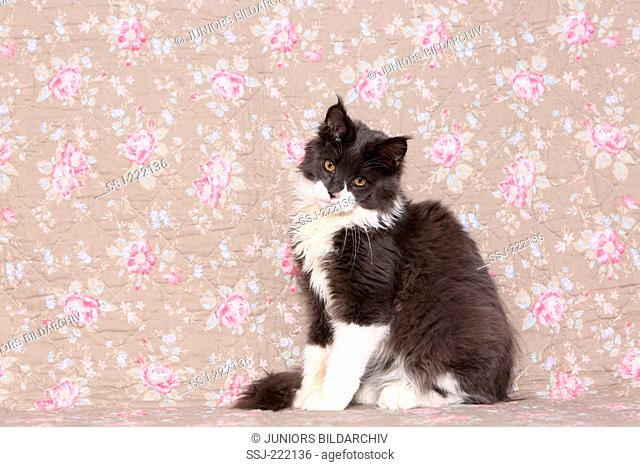 American Longhair, Maine Coon. Adult tomcat sitting, seen against a floral design wallpaper