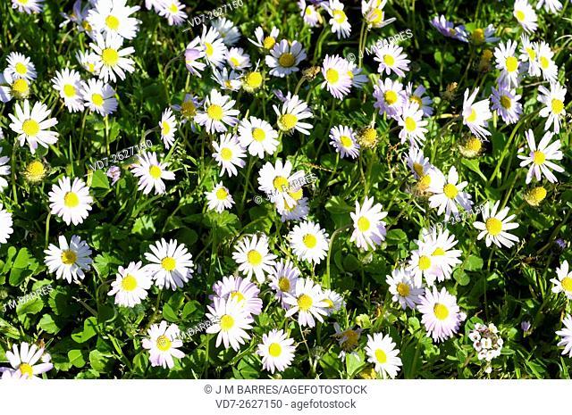 Annual Daisy (Bellis annua) is an annua lherb native to Mediterranean region. Angiosperms. Asteraceae. Menorca, Balearic Islands, Spain