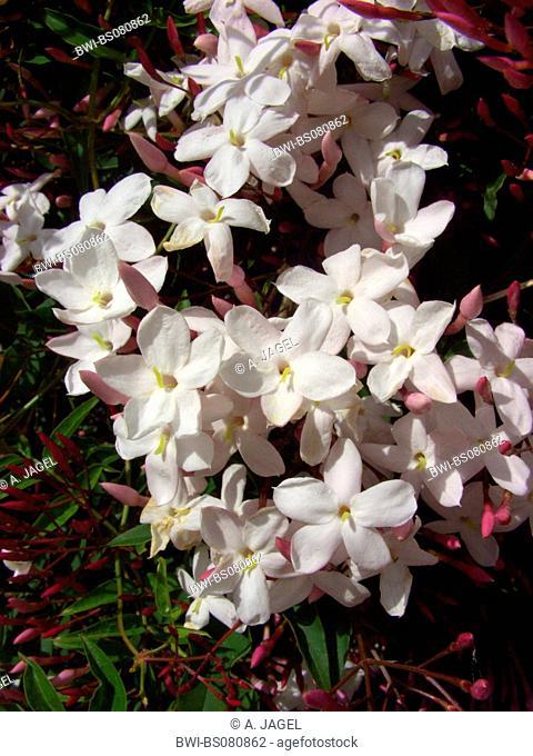 Winter Jasmine, Pink Jasmine, Chinese Jasmine (Jasminum polyanthum, Jasminum blinii, Jasminum delafieldii), blooming