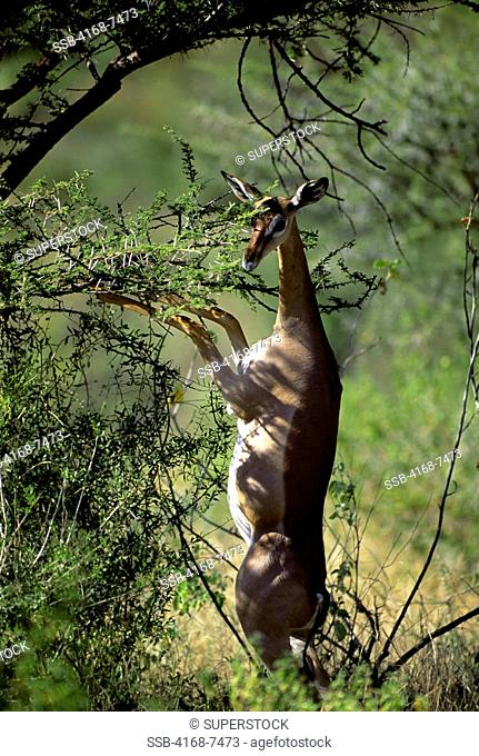 Kenya, Samburu, Gerenuk Litocranius Walleri, female feeding on acacia bush
