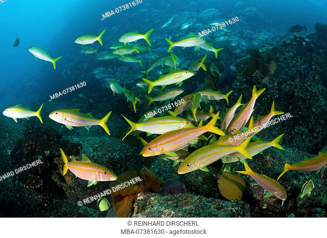 Mexican Goatfishes, Mulloidichthys dentatus, Cabo Pulmo, Baja California Sur, Mexico