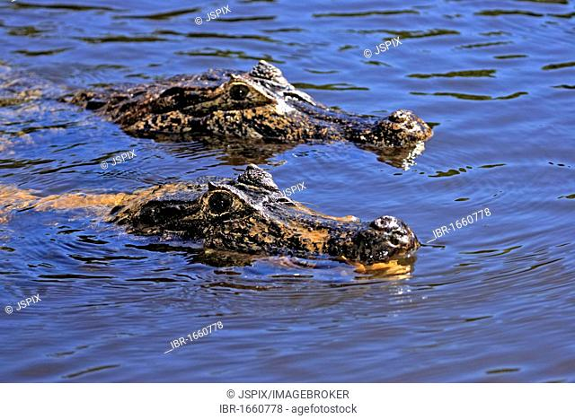 Yacare Caiman (Caiman yacare), portrait, two adults swimming, Pantanal, Brazil, South America