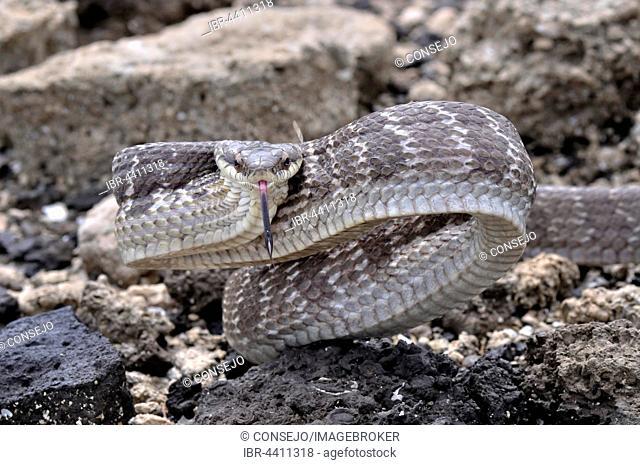 Mahogany Ratsnake (Phrynonax poecilonotus), puffing, aggressive behavior, Corozal district, Belize