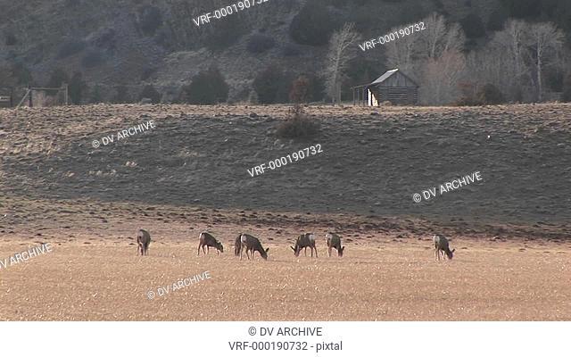 A herd of deer graze in a meadow near a cabin