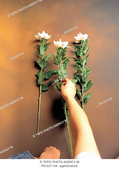 Hand holding a chrysanthemum,Korea