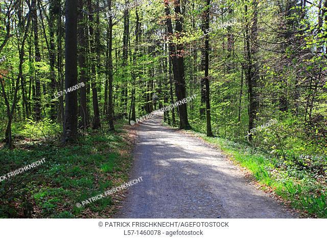 beech tree forest, Fagus sylvaticia L ,Switzerland