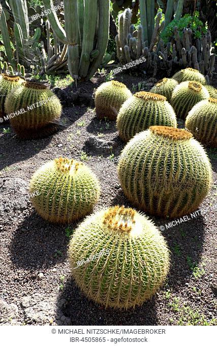 Golden barrel cacti (Echinocactus grusonii) and columnar cacti, Jardin Botánico Viera y Clavijo, Gran Canaria, Canary Islands, Spain
