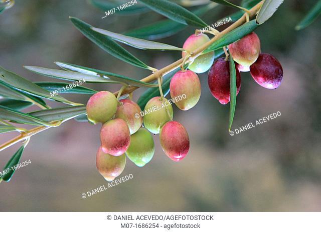 Ripe olives on olive tree, Spain