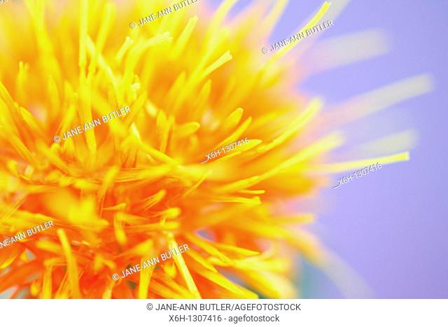 Beautiful Close Up of the Safflower