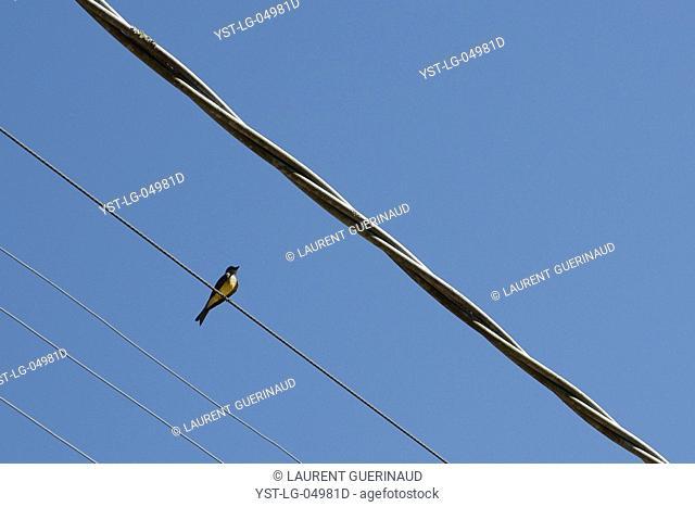 Bird, Electric thread, Ilha Grande, Rio de Janeiro, Brazil