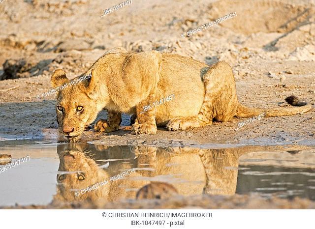 Lioness, Lion (Panthera leo), drinking, Savuti, Chobe National Park, Botswana, Africa