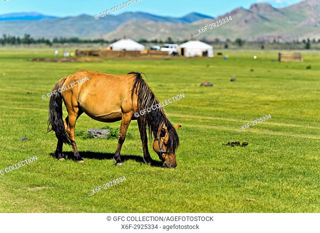 Horse grazing on a pasture near yurts in the UNESCO World Heritage Site Orkhon Valley Cultural Landscape, Khangai Nuru Khangai Nuruu National Park