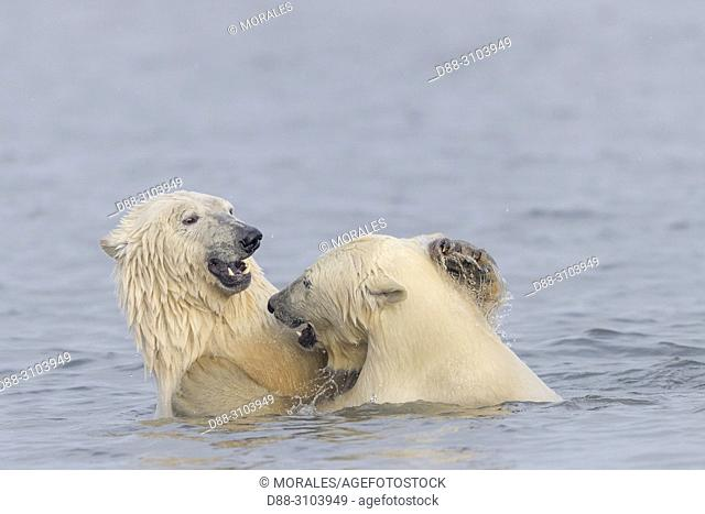 United States, Alaska, Arctic National Wildlife Refuge Kaktovik, Polar Bear( Ursus maritimus ), along a barrier island outside Kaktovik, Alaska