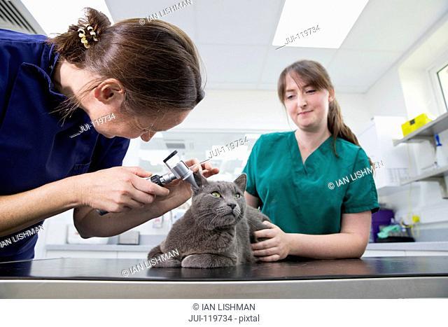 Vet examining pet cat ears and hearing in surgery