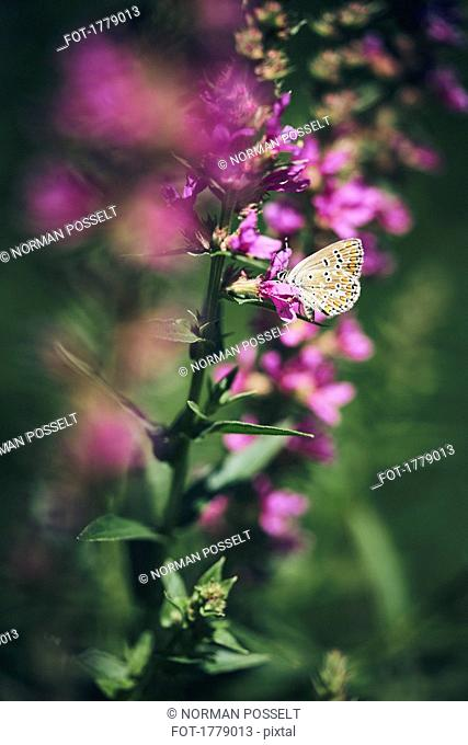 A butterfly on a purple flowering plant