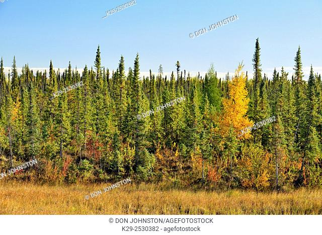 Spruce trees with a larch tree in autumn colour, Behchoko, Northwest Territories, Canada