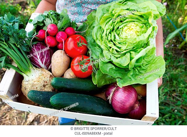 Woman holding box of fresh vegetables in allotment