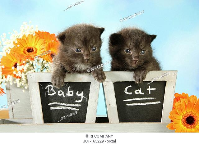 domestic cat - two kittens 14 days