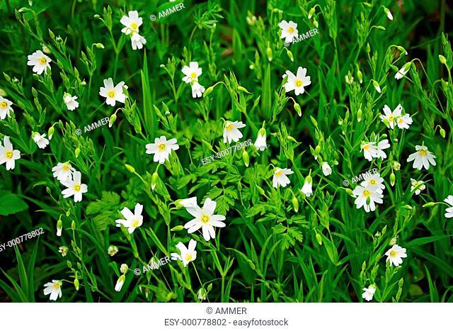Floral background, Stellaria holostea