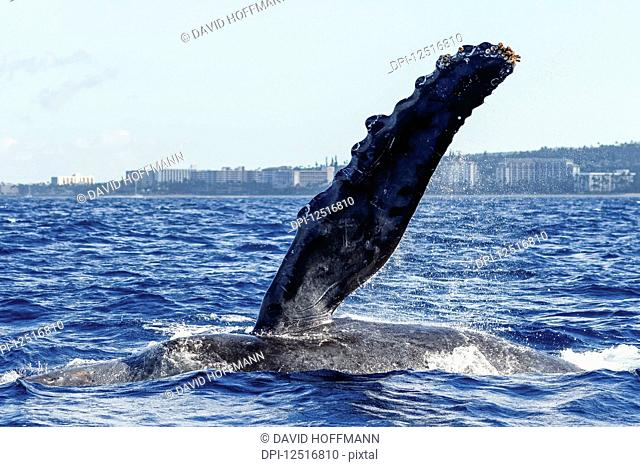 Humpback whale pectoral fin; Lahaina, Maui, Hawaii, United States of America