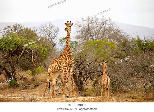 giraffe (Giraffa camelopardalis), mother and child in the shrubland, South Africa