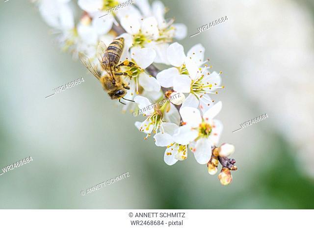 Spring, cherry tree blossom with honey bee