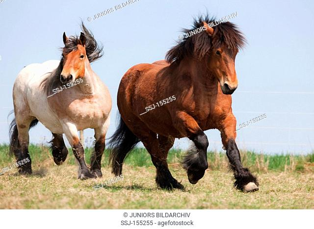two Ardennes horses - running