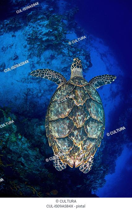 Overhead view of hawksbill turtle (Eretmochelys imbricata) swimming over the southern wall of Cozumel Island, Quintana Roo, Mexico