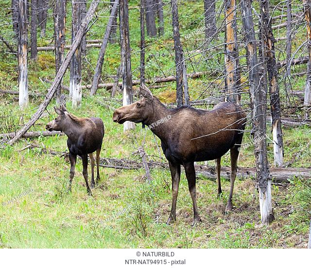 Female moose with calf in forest