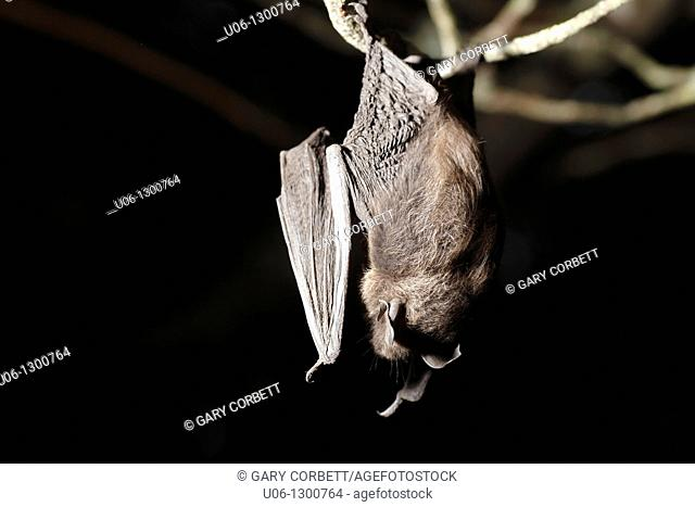 A little brown bat hanging from a tree branch, Queens County, Nova Scotia, Canada