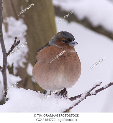 A Male Chaffinch (Fringilla coelebs) in freezing conditions in a Norfolk garden