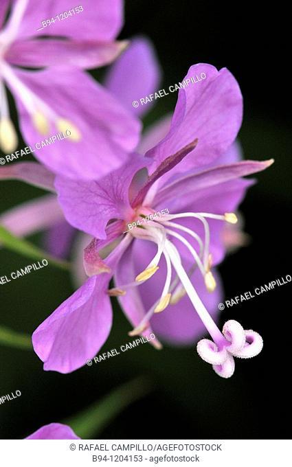 Flowers of Fireweed (Epilobium angustifolium, fam. Onagraceae). Osseja, Languedoc-Roussillon, Pyrenees Orientales, France