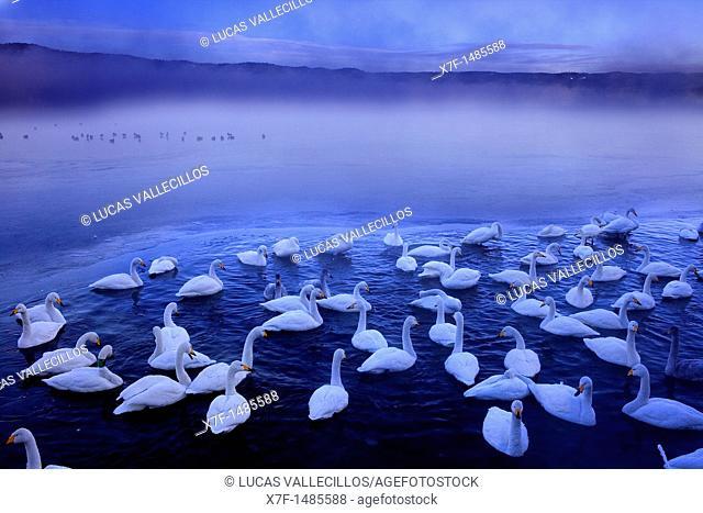Whopper Swans Cygnus cygnus in Lake Kussharo,Akan National Park,Hokkaido,Japan