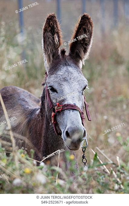 Donkey, Uruñuela, La Rioja, Spain