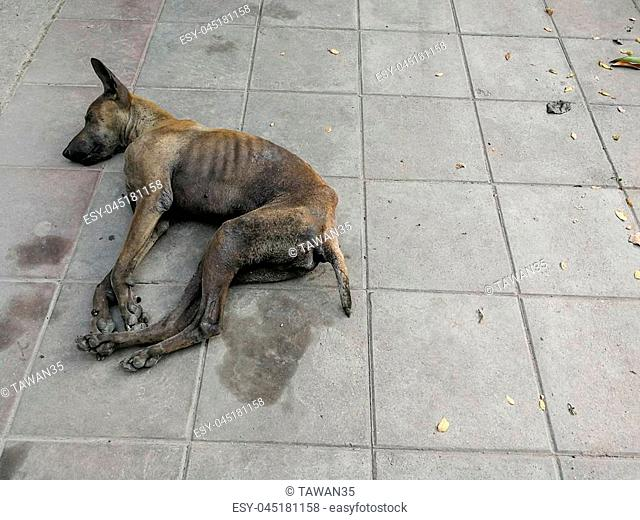 Sick dog need helping live on the street., Homeless stray Thai Dog leper on the countryside way