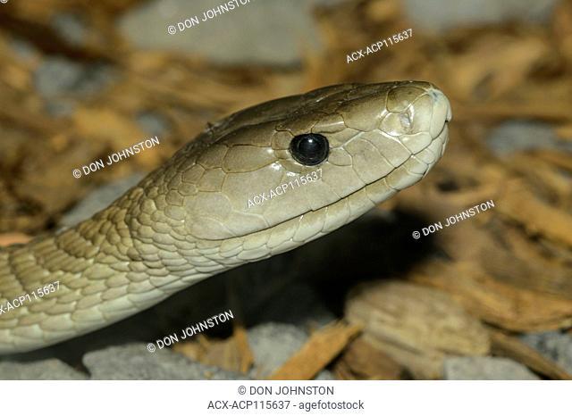Black mamba (Dendroaspis polylepis), captive, Reptilia reptile zoo, Vaughan, Ontario, Canada
